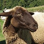 Christerl das Schaf
