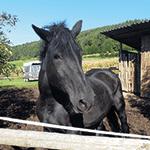 Tyndi das Pferd